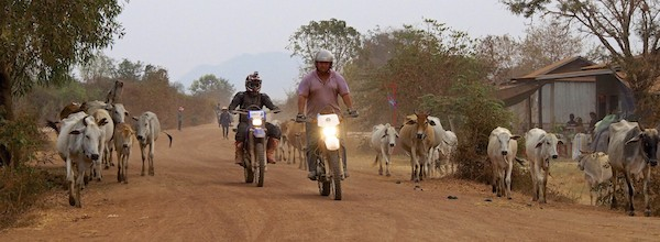 Cattle are to be expected along country roads in Cambodia.